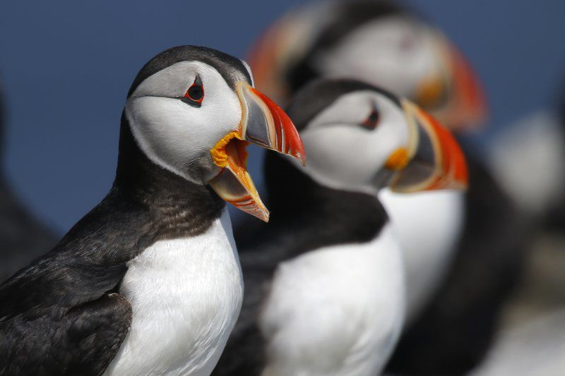 Puffins fill up nesting islands this year