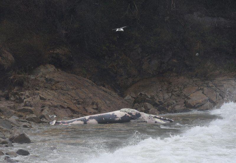 Whale carcass proves curiosity