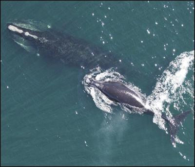 NOAA counting right whales