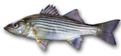 Anglers to be limited to one striper a day