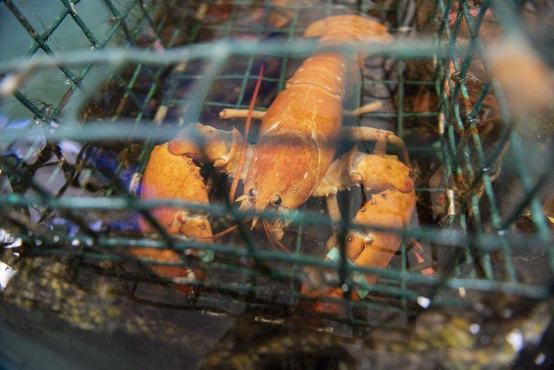Rare red lobster makes a splash in Danvers