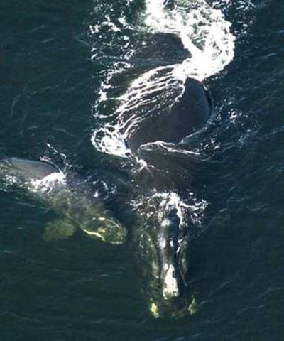Minibaby boombirths hope for right whales