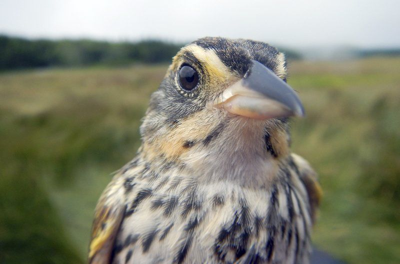 Saltmarsh sparrow disappearing, scientists say