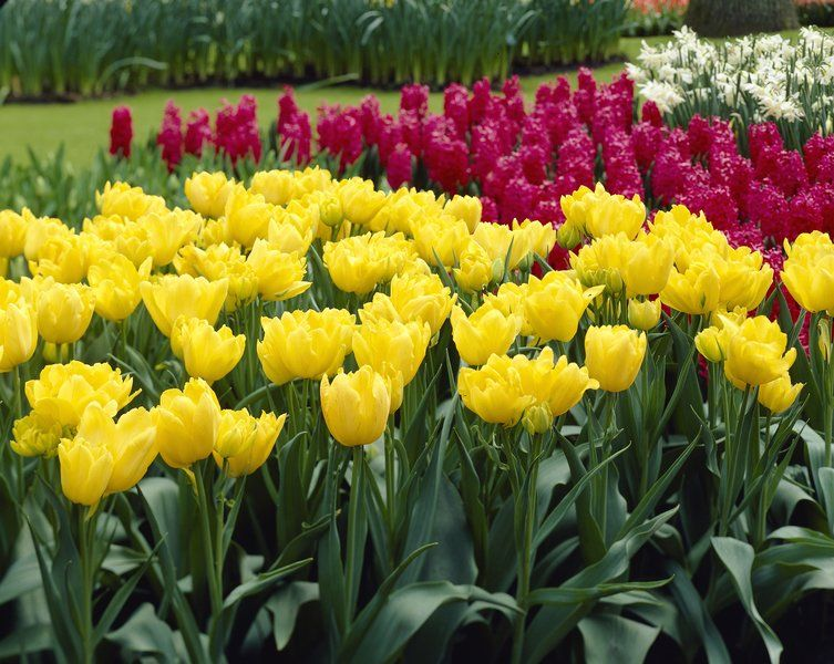 Stop and smell the tulips. Some varieties, anyway