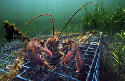 A daunting task begins: Reducing lobster gear to save whales