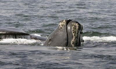 Canada announces new protections for rare right whales