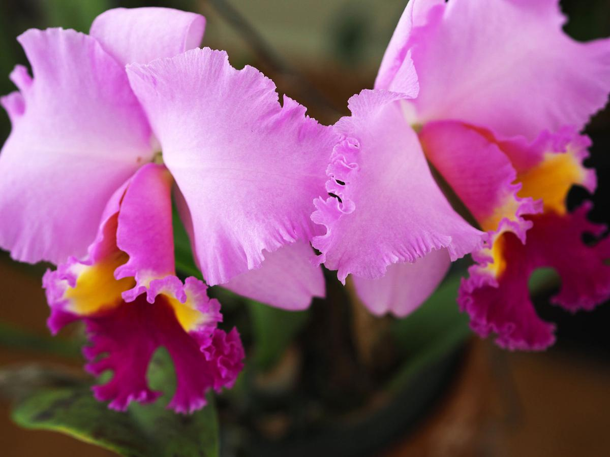 Cattleya - twin blooms2.JPG