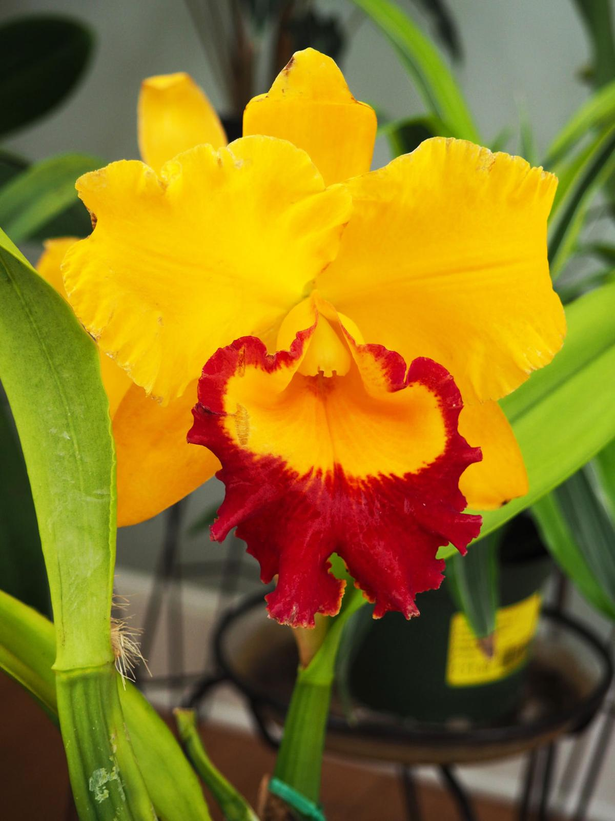 Cattleya - yellow.JPG