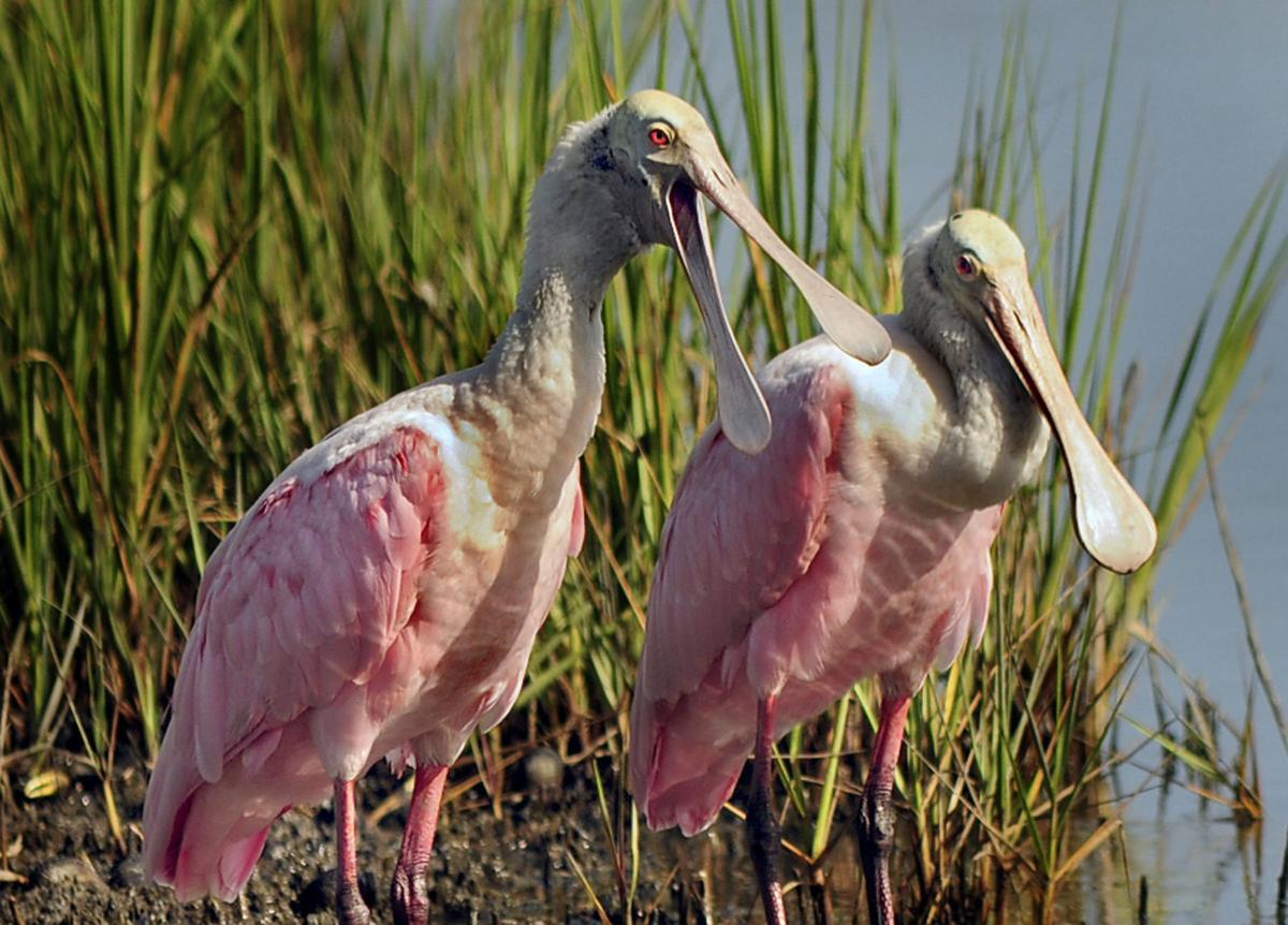 Roseate Spoonbills Coming Home to Roost