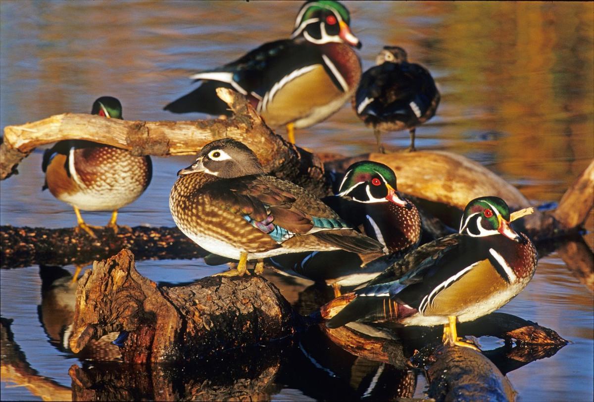 ducks-3782524_1920.jpg