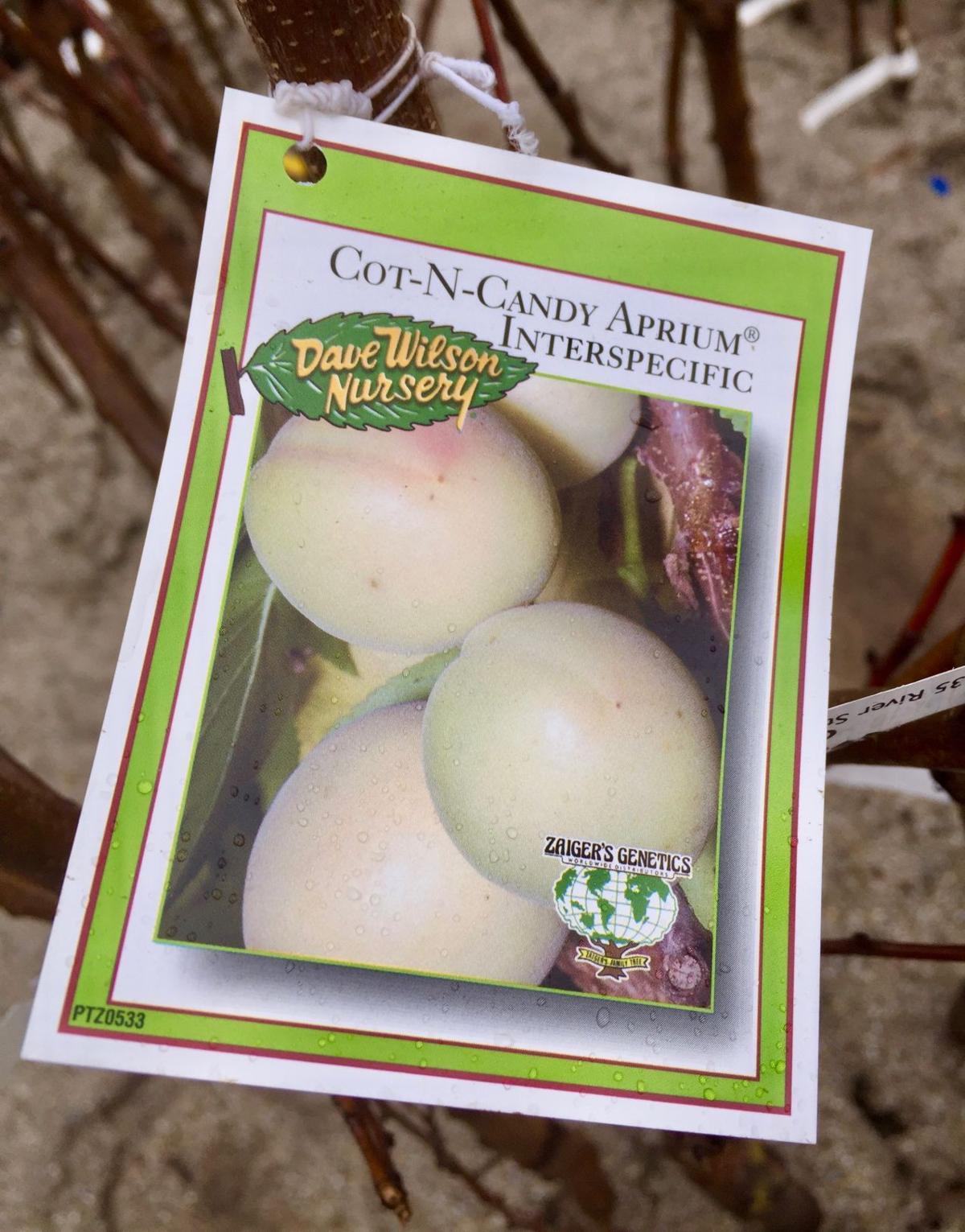 Cot-N-Candy Aprium