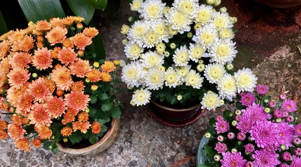 Things you didnt know about mums press banner perennial garden mums for color this fall izmirmasajfo