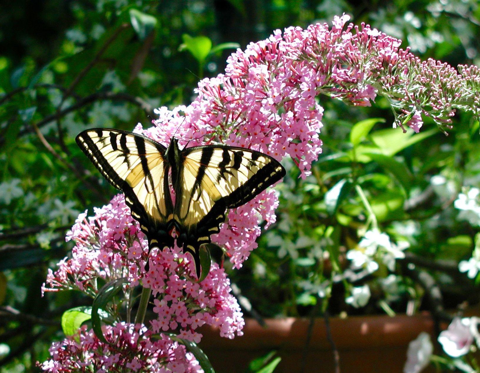 Western Tiger Swallowtail Feeding On Butterfly Bush