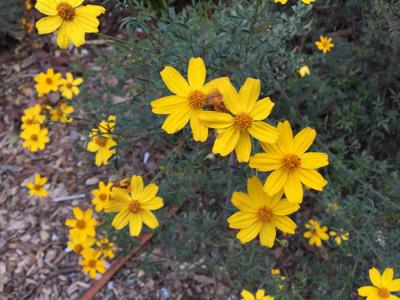 Mexican Marigold bloom all winter and are deer resistant