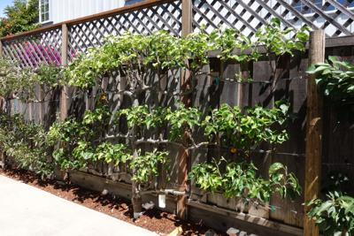 The Mountain Gardener | When Only an Espaliered Plant Will Do