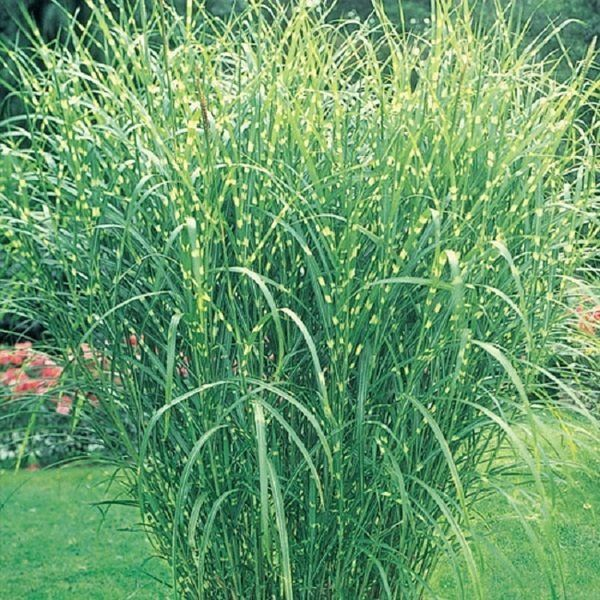 Zone 5 Ornamental Grasses The dirt on gardening ornamental grasses are the for you the dirt on gardening ornamental grasses are the for you workwithnaturefo