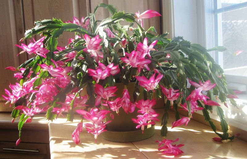 THE DIRT ON GARDENING: How to urge your Christmas cactus to bloom