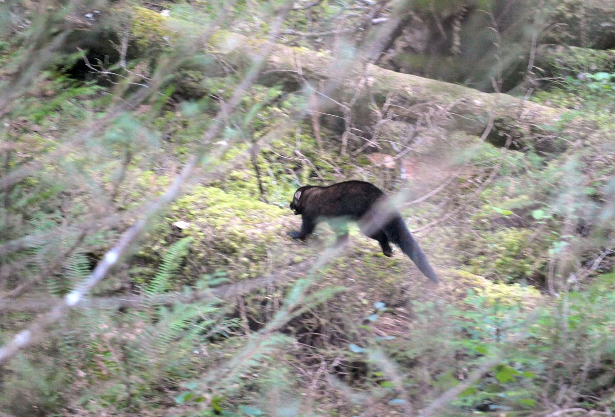Fishers released in North Cascades National Park
