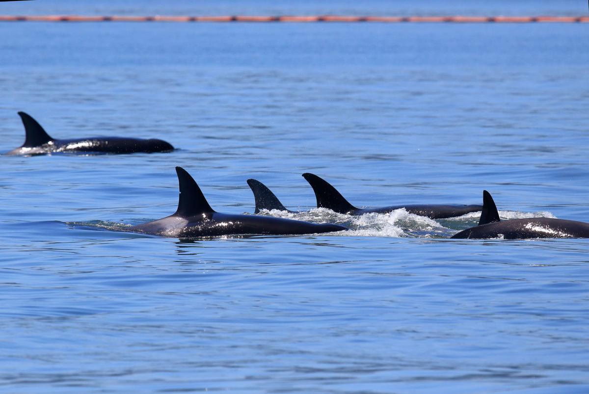 Orcas quintet