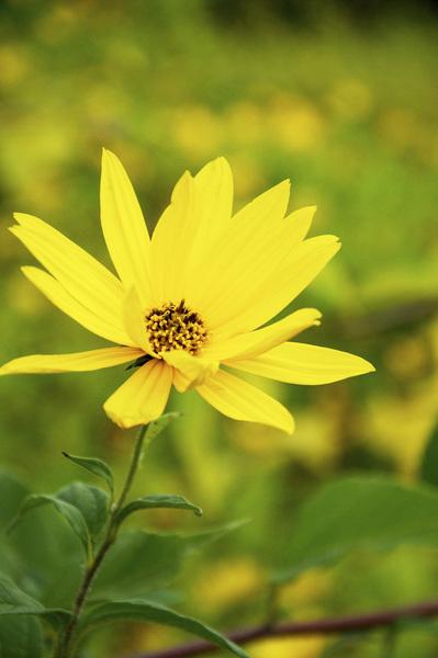 Pretty yellow flowers top off mystery crop home and garden pretty yellow flowers top off mystery crop mightylinksfo
