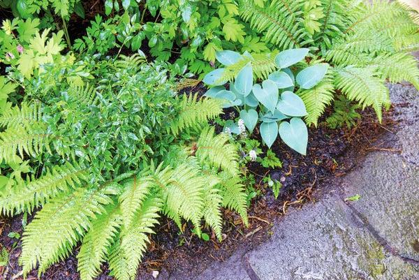 Beautiful Garden Ferns: Versatile And Beautiful