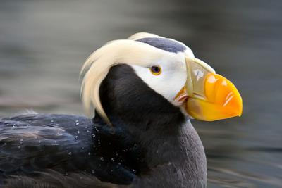 State considers listing tufted puffin as endangered species
