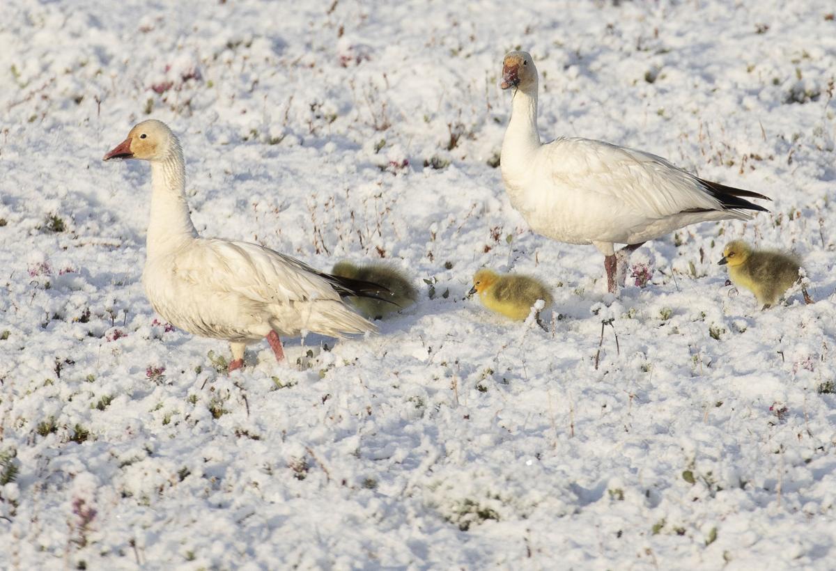 Snow geese and chicks on Wrangel Island
