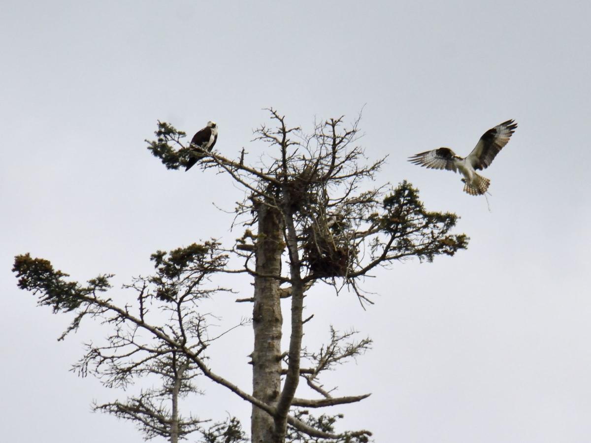 5-3 Rebuilding their nest.tif