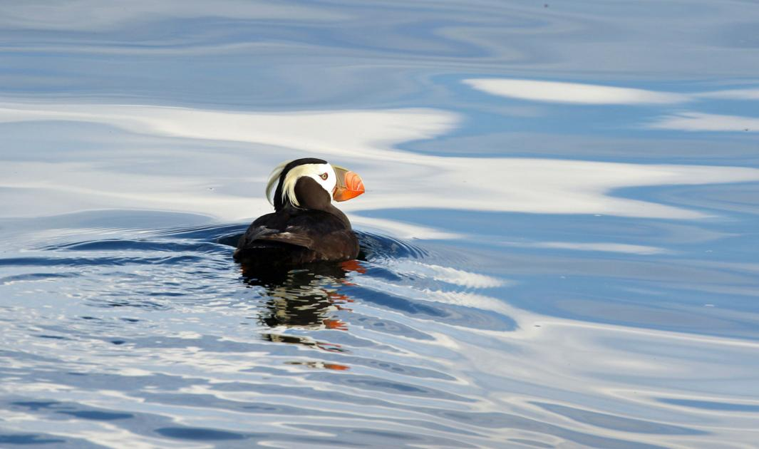 Nonprofit teaching youths, community about imperiled Salish Sea bird