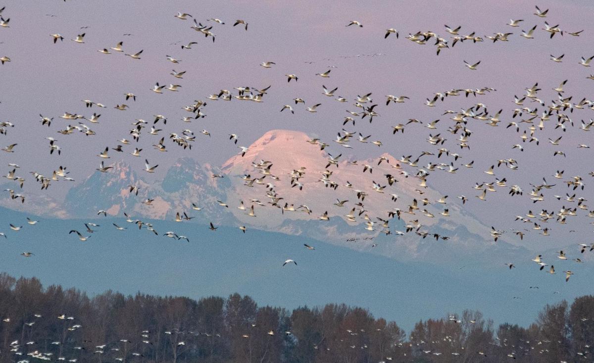 Snow geese Baker - Helbacka