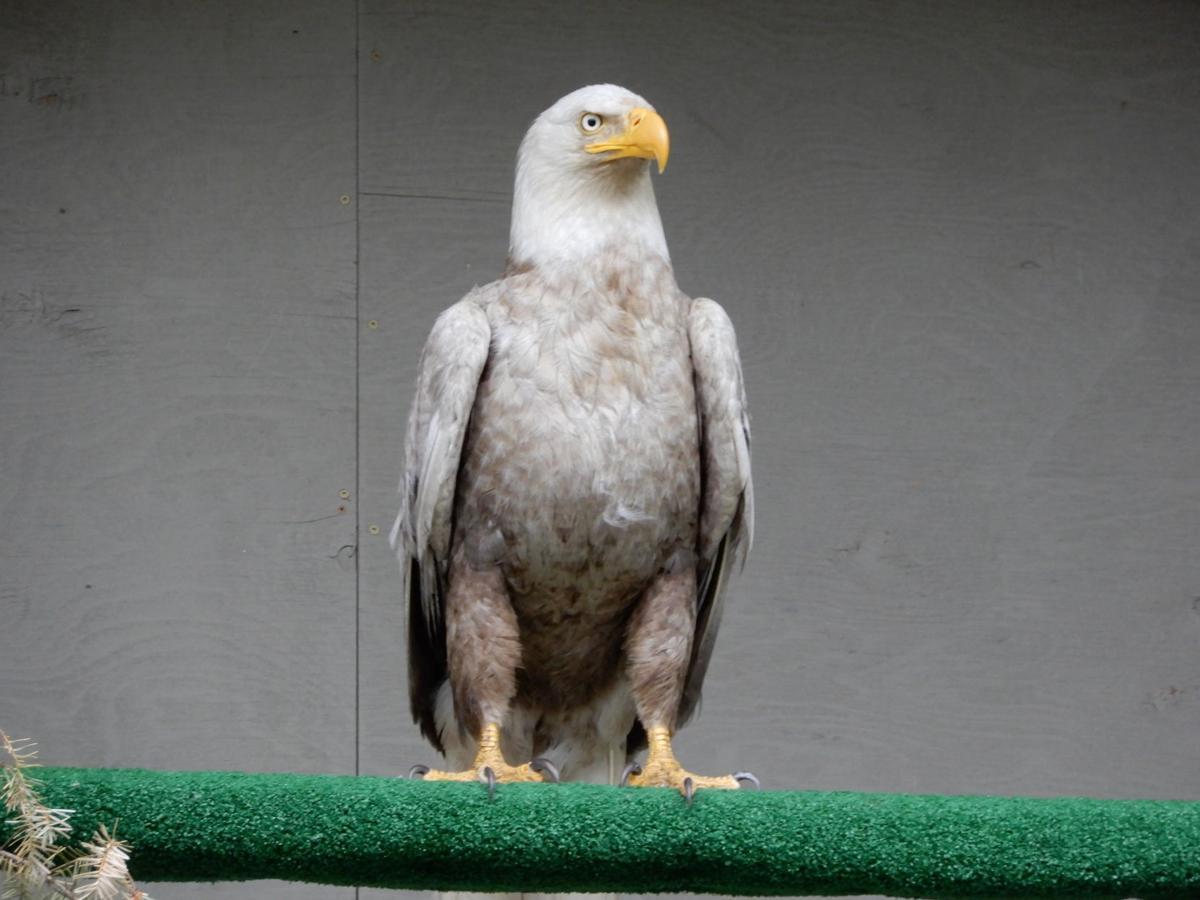 Leucistic Bald Eagle SA July 2020 (1).JPG