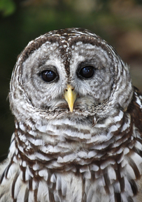 Obama plan for spotted owl targets rival bird