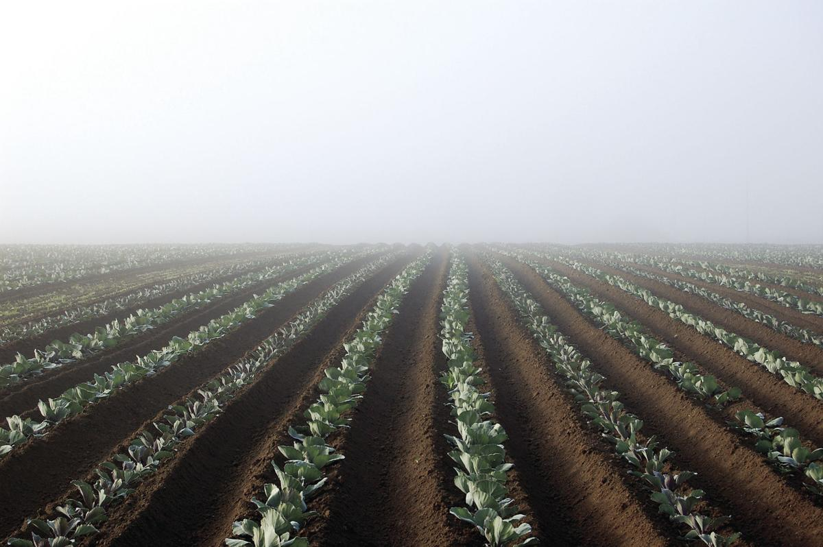 Cabbages in the fog
