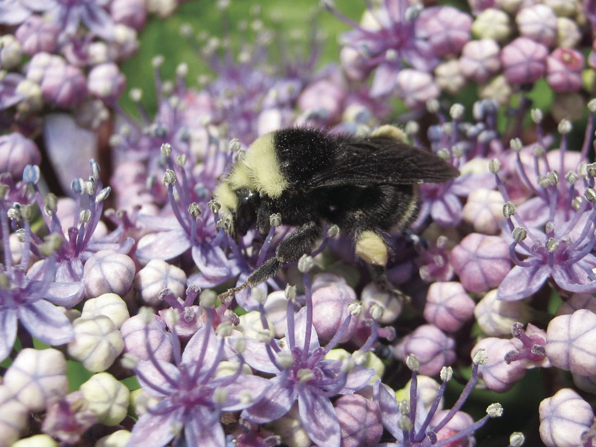 Bumblebee on lace-cap hydrangea