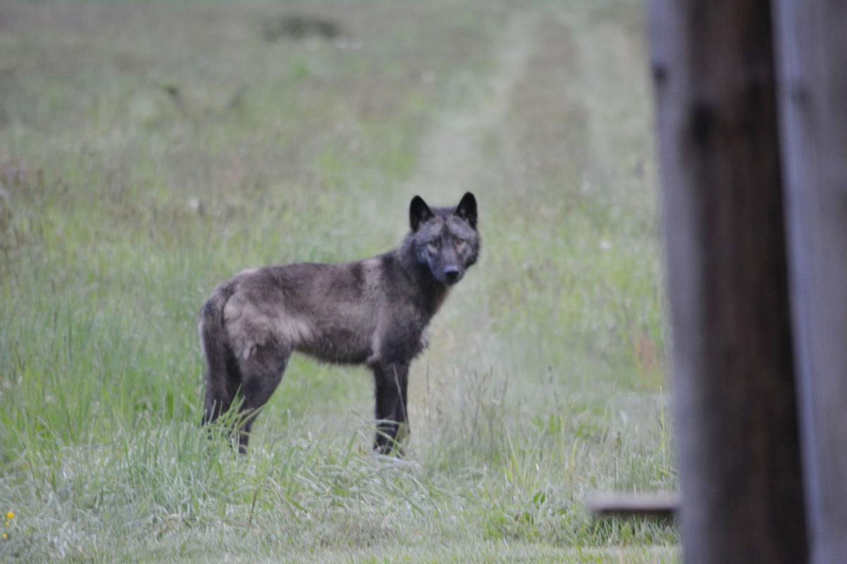 Wolf in east Skagit County