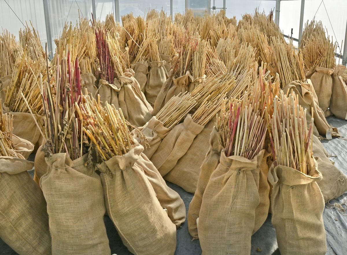 Quinoa testing