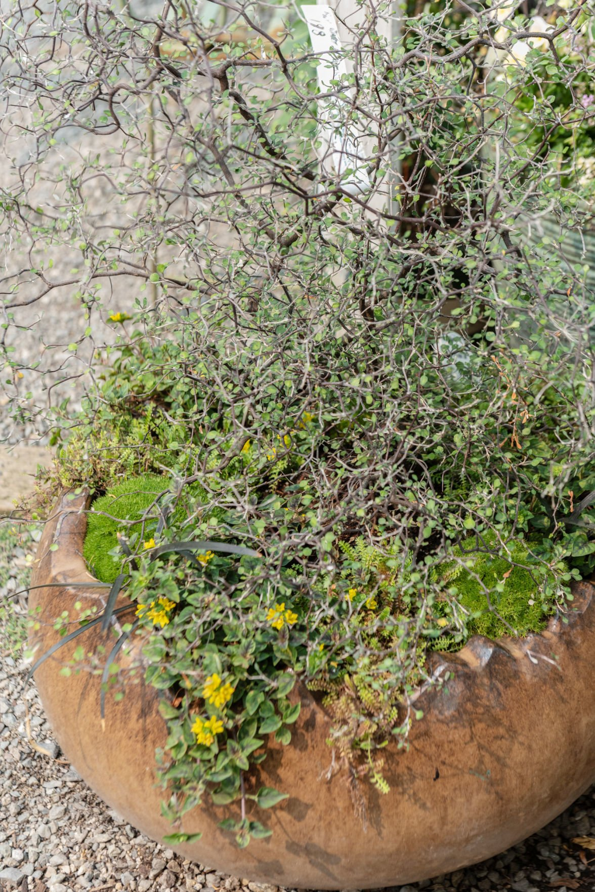 Cotoneaster in pots