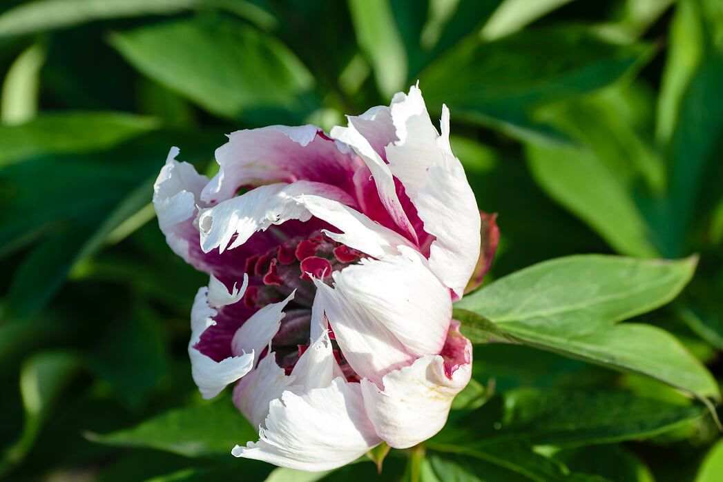 An example of an Itoh Peony