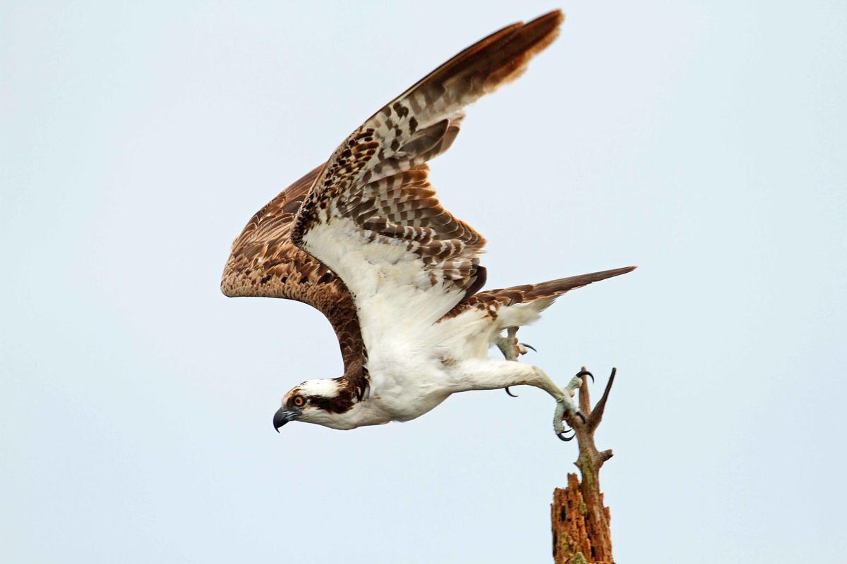 Osprey Whidbey Island