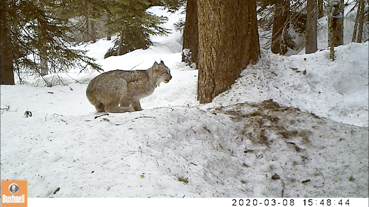 North Cascades lynx, Methow Valley area2. Photo Cascades Wolverine Project and CNW.PNG
