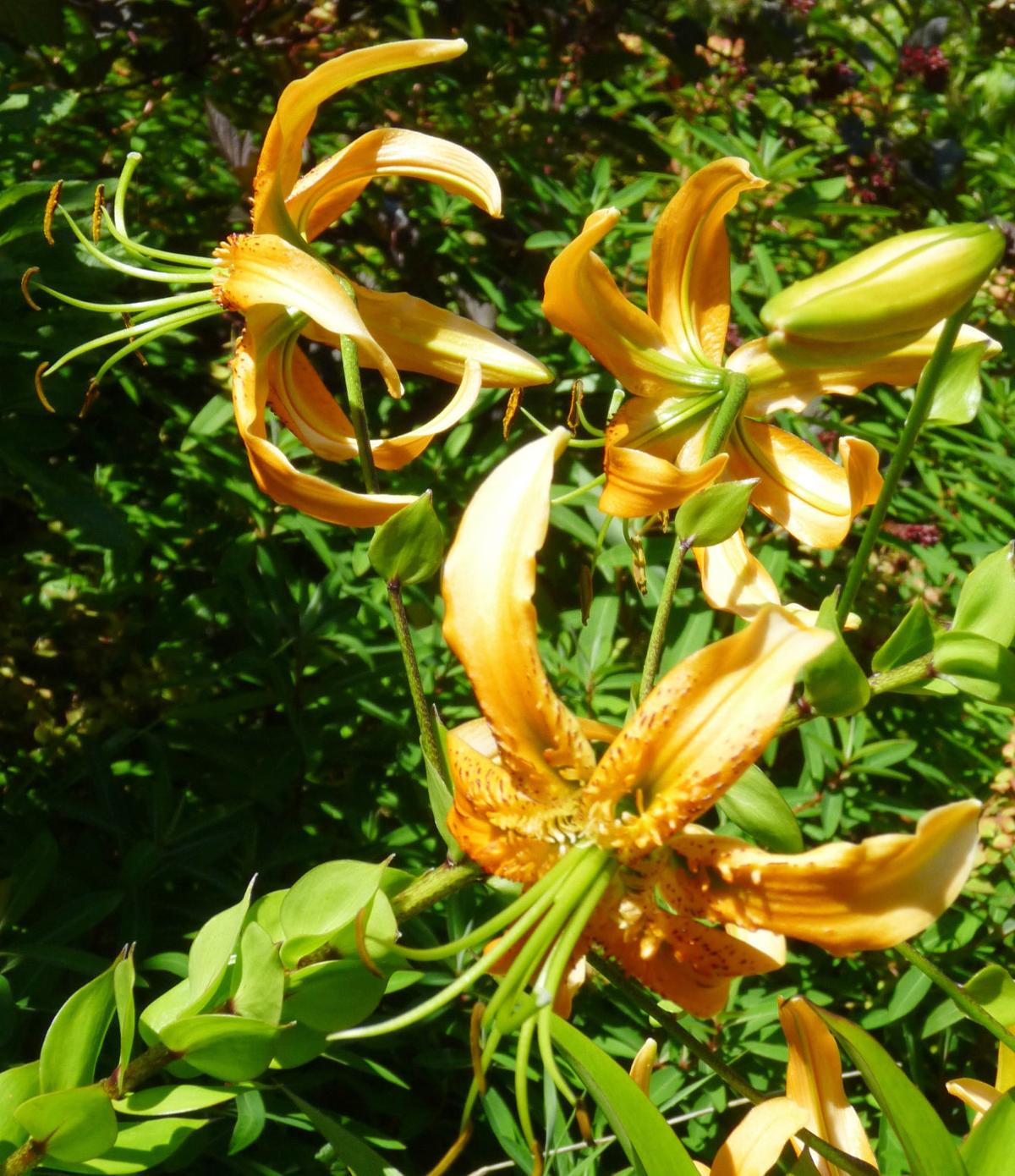 Ask The Master Gardener Lilies Of The Skagit Valley Home And