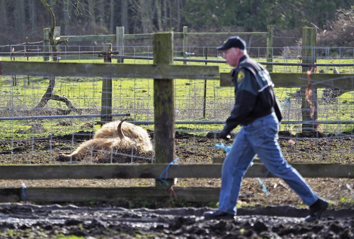 Pederson faces criminal charges for dead cattle