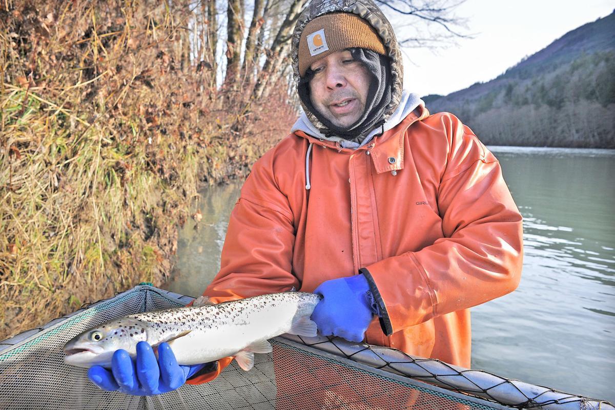 Atlantic salmon still being caught in Skagit River