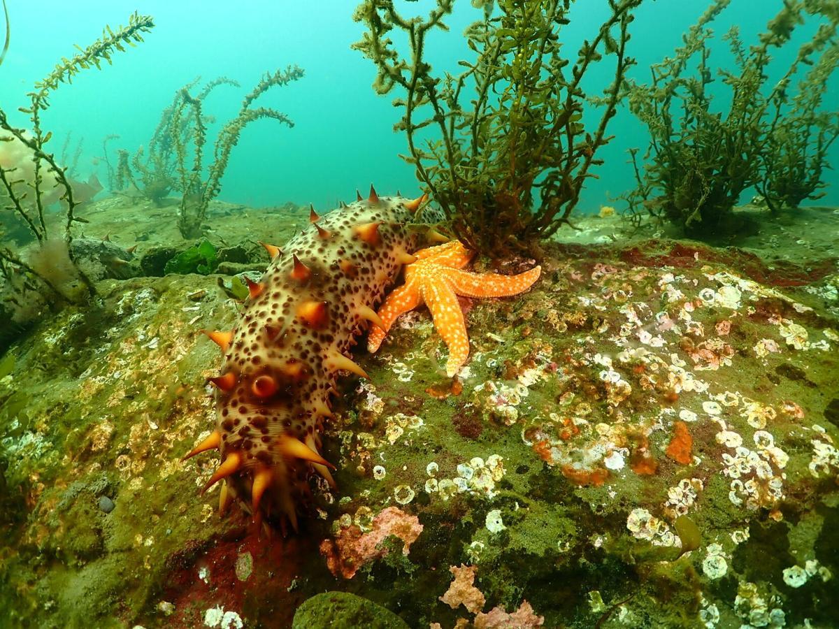 Sea.Cucumber.WDFW.JPG