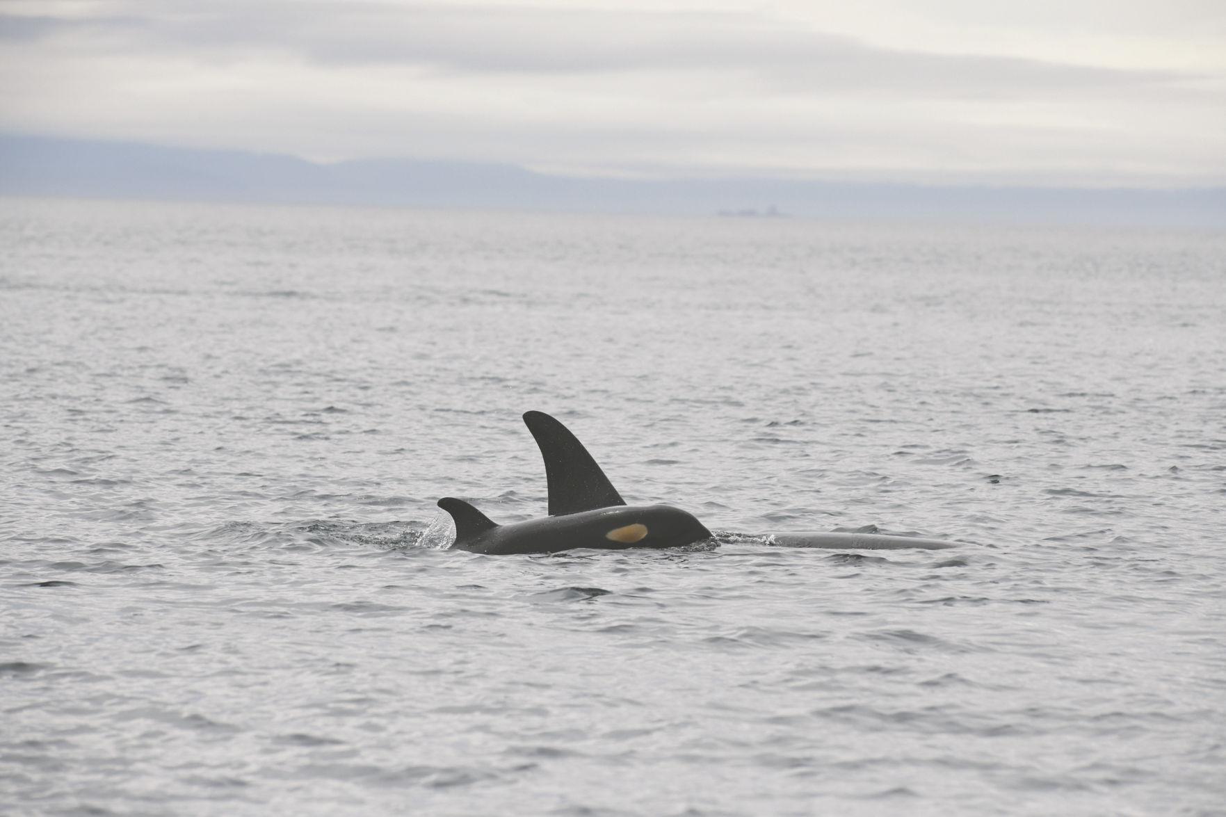 Orca calf J56 & mom J31