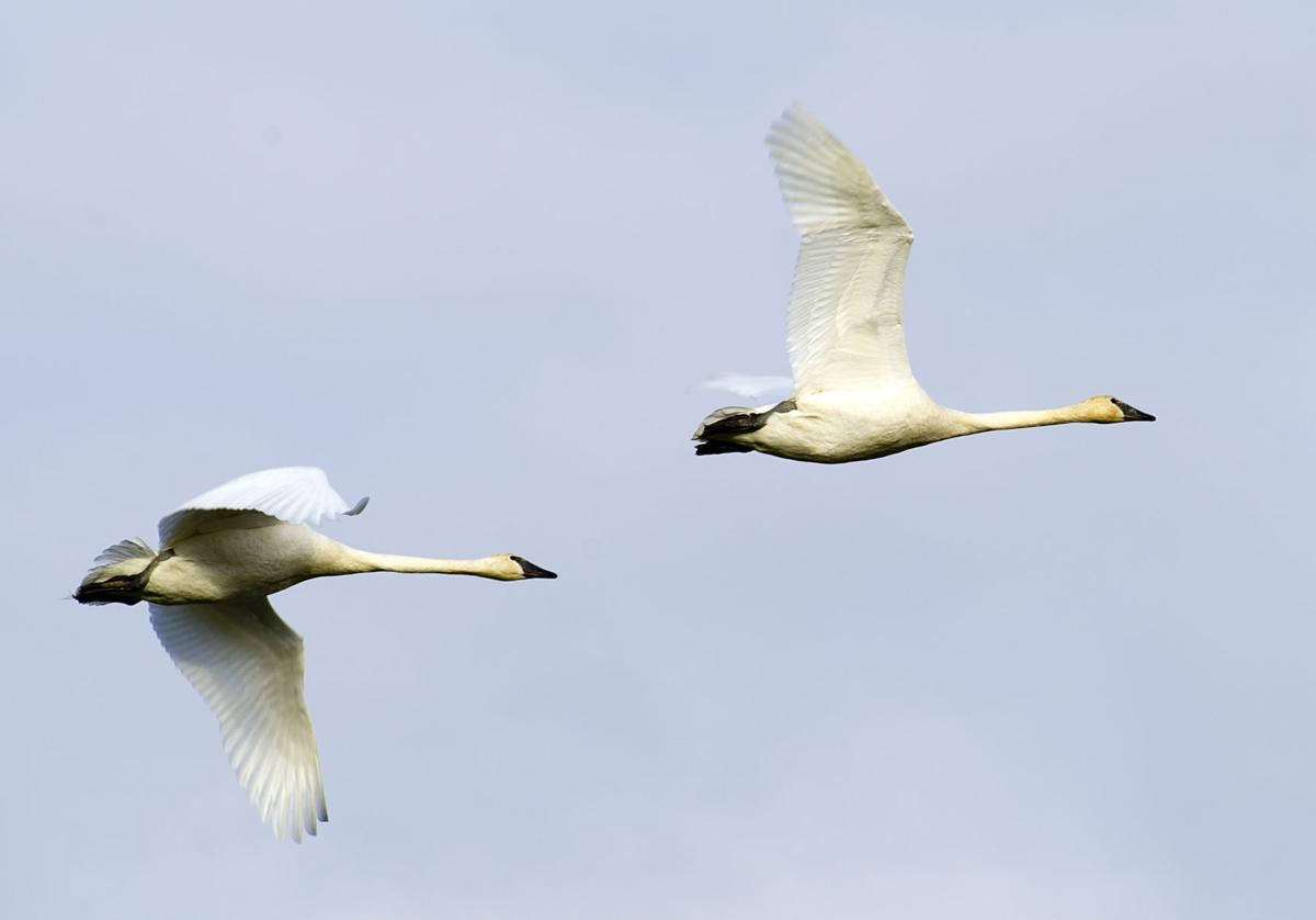 Photo Gallery Trumpeter Swans And Snow Geese News Goskagit Com