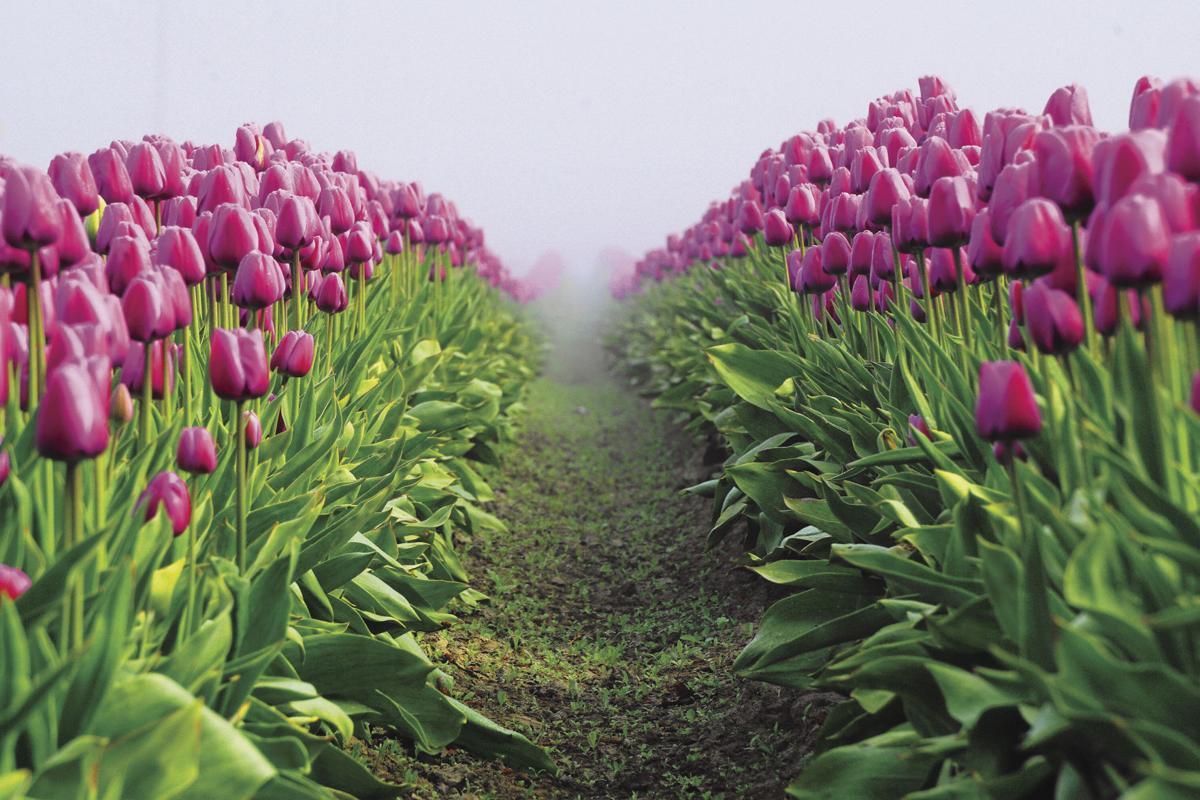 Amazing tulips