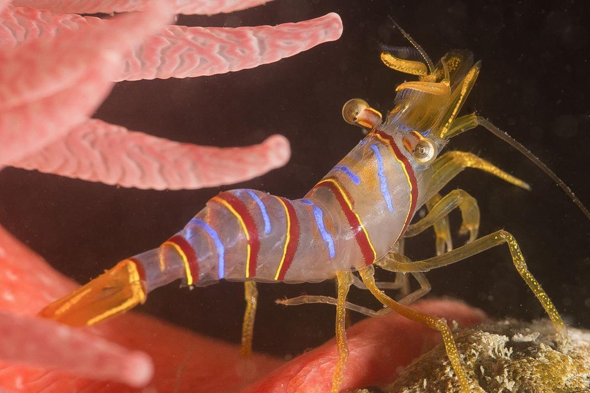 Candy Shrimp