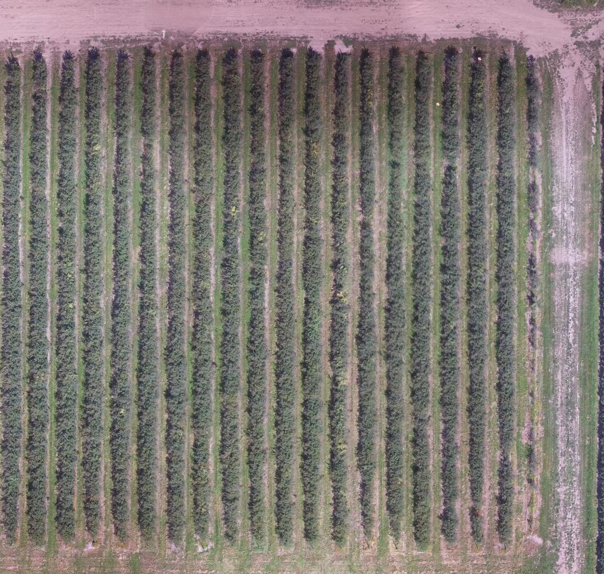 Drone view of a blueberry field
