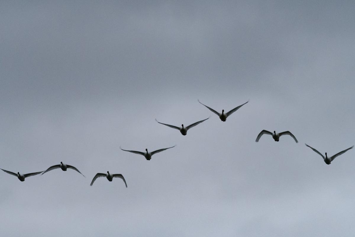Winter Swanrise